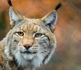 Portrait Of A Lynx.