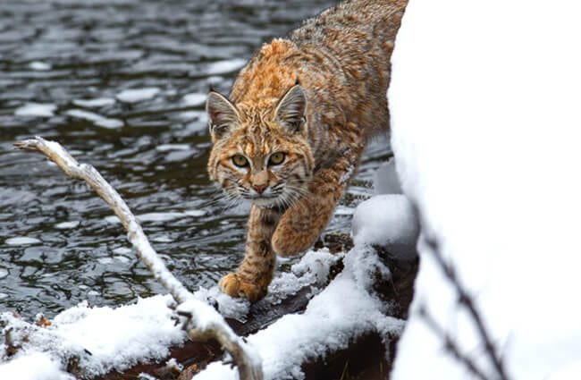 Lynx on a snowy riverbank.