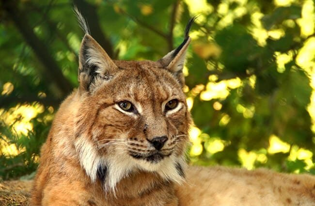 Afternoon rest for the lynx.