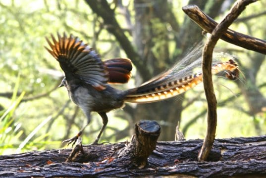 Male Superb Lyrebird with his wings and tail spread.Photo by: Brian Ralphshttps://creativecommons.org/licenses/by/2.0/