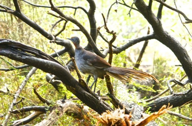 Female Superb Lyrebird on a tree. Photo by: Brian Ralphs https://creativecommons.org/licenses/by/2.0/