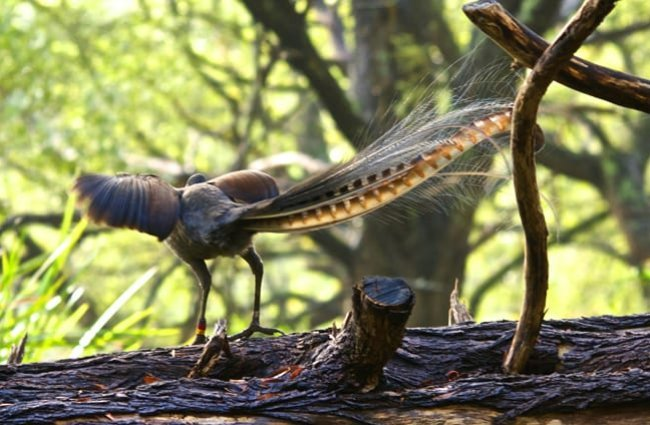 Male Superb Lyrebird, from the rear. Photo by: Brian Ralphs https://creativecommons.org/licenses/by/2.0/