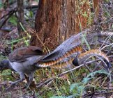 Superb Lyrebird In The Forest Photo By: Lip Kee Yap Https://creativecommons.org/licenses/by/2.0/