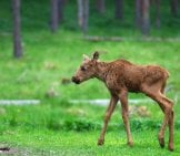 Moose Calf Standing On Lanky Legs.