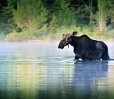 A Cow Moose Wading In A Lake.