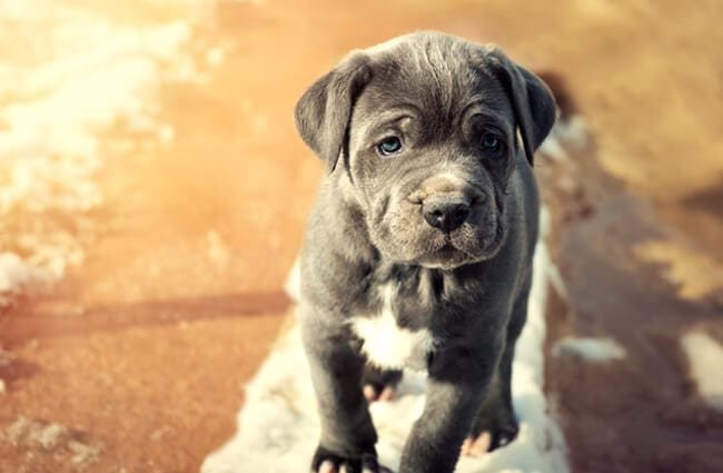 Grey Neapolitan Mastiff puppy. Photo by: (c) andreaobzerova www.fotosearch.com