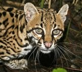 Closeup Of A Hunting Ocelot. Photo By: (C) Mikelane45 Www.fotosearch.com