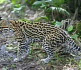 An Expertly Camouflaged Ocelot A Forest Of Belize. Photo By: (C) Mikelane45 Www.fotosearch.com