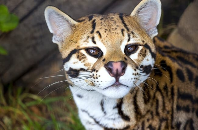 Curious ocelot in South America. Photo by: (c) bradleyvdw www.fotosearch.com
