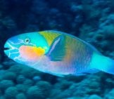 Daisy Parrotfish In The Red Sea, Egypt. Photo By: (C) Divas Www.fotosearch.com