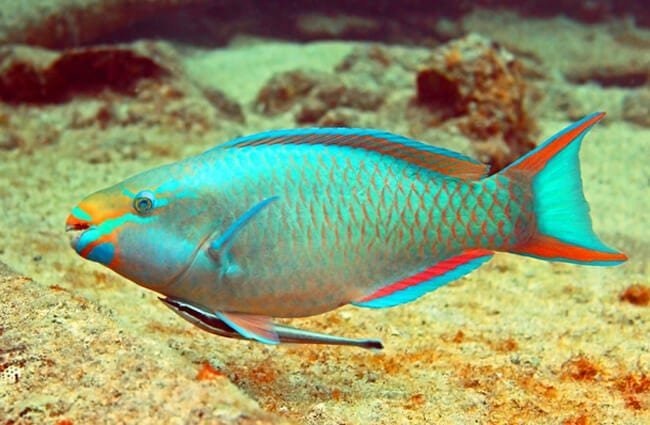 Parrotfish swimming along a tropical reef Photo by: (c) swimwitdafishes www.fotosearch.com
