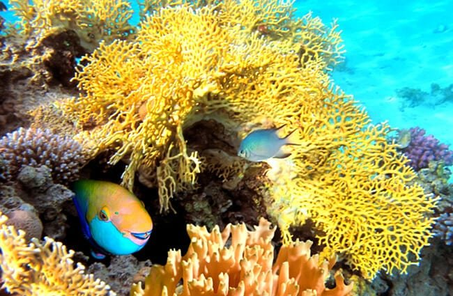 Steepheaded parrotfish in the Red Sea. Photo by: (c) Vlad61 www.fotosearch.com