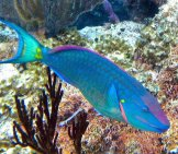 Stoplight Parrotfish Near San Salvador Island, Bahamas. Photo By: James St. John Https://creativecommons.org/licenses/by/2.0/