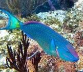 Stoplight Parrotfish Near San Salvador Island, Bahamas. Photo By: James St. John Https://Creativecommons.org/Licenses/By/2.0/