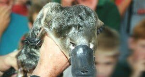 Platypus being shown to zoo visitors, near Victoria, Australia.