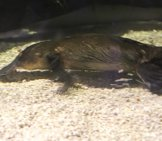 Even In A Zoo Aquarium, The Platypus Can Be Difficult To See. Photo By: Tony Hisgett Https://creativecommons.org/licenses/by/2.0/