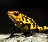 Harlequin Poison-Dart Frog. Photo By: Sebastian Moreno //creativecommons.org/licenses/by-Nd/2.0/