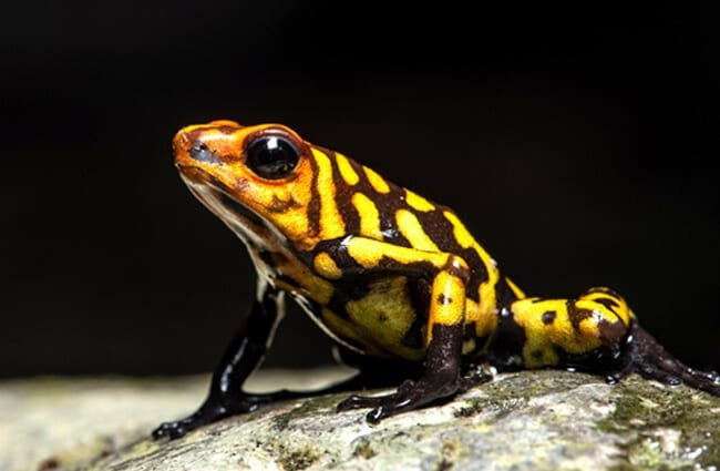 Harlequin Poison-dart Frog. Photo by: Sebastian Moreno https://creativecommons.org/licenses/by-nd/2.0/