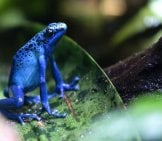 Dyeing Poison Frog, Singapore Zoo Photo By: _Pavan_ Https://creativecommons.org/licenses/by-Nd/2.0/