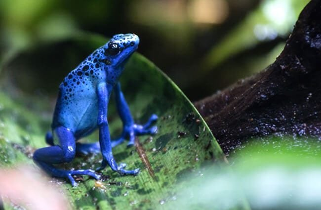 Dyeing Poison Frog, Singapore Zoo Photo by: _paVan_ //creativecommons.org/licenses/by-nd/2.0/
