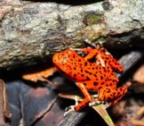 Strawberry Poison-Dart Frog. Photo By: Pavel Kirillov Https://creativecommons.org/licenses/by-Nd/2.0/