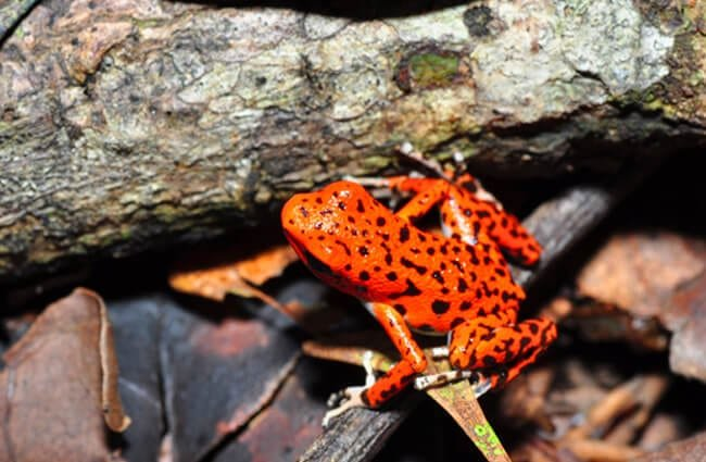 Strawberry poison-dart frog. Photo by: Pavel Kirillov //creativecommons.org/licenses/by-nd/2.0/
