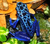 Bright Blue Poison Dart Frog.