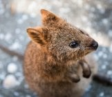 Closeup Of A Cute Little Quokka. Photo By: Barney Moss //creativecommons.org/licenses/by/2.0/