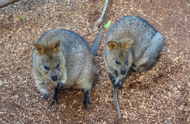 A pair of quokka. Photo by : Tyler Nienhouse //creativecommons.org/licenses/by/2.0/