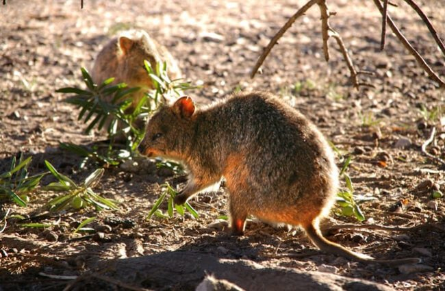 Two quokkas feeding in the evening light. Photo by: Percita https://creativecommons.org/licenses/by/2.0/