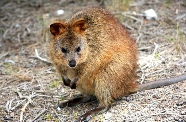 Portrait of a quokka.