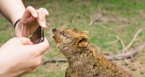 Curious quokka posing for a selfie.Photo by: VirtualWolfhttps://creativecommons.org/licenses/by/2.0/