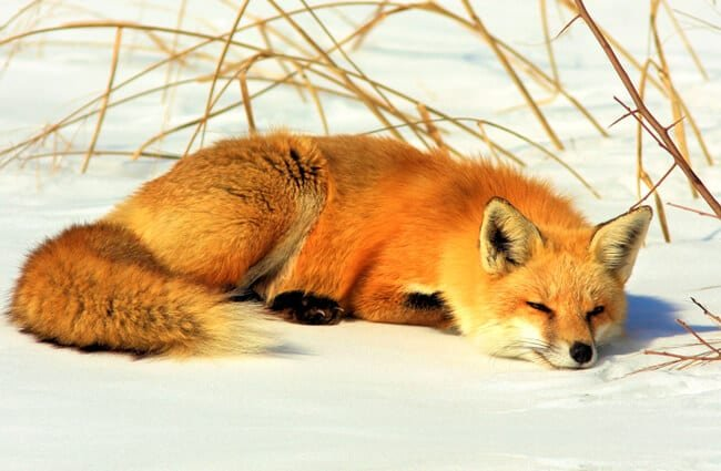 Red fox in the snow.