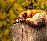 Red Fox On A Tree Stump.