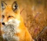 Beautiful Portrait Of A Red Fox.