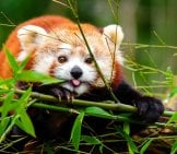 Red Panda Eating Bamboo.