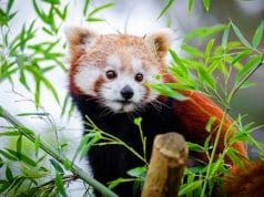 Cute Red Panda in bamboo.