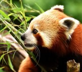 Red Panda In Profile.
