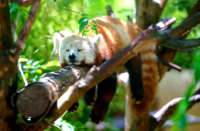 Red Panda napping in a tree.