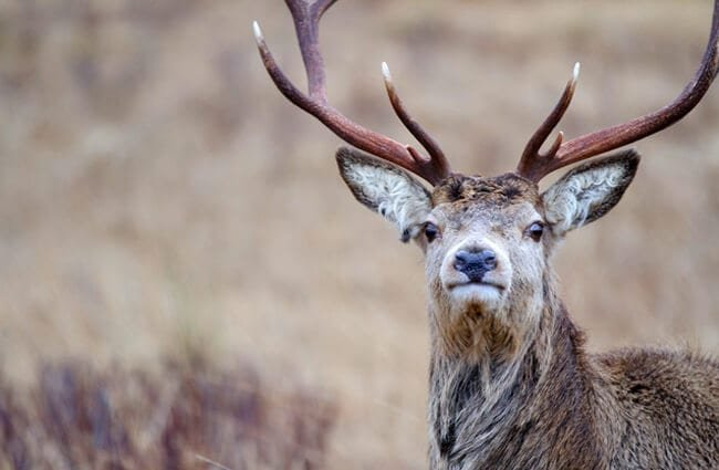 Scottish reindeer. Photo by: (c) ellenamani www.fotosearch.com