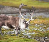 A Large, Male Reindeer In A Meadow.photo By: (C) Erectus Www.fotosearch.com