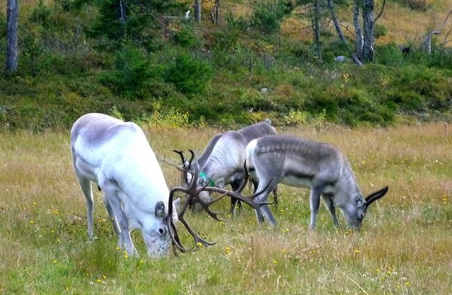 Reindeer grazing on the Ruka ski slopes, Finland Photo by: Timo Newton-Syms //creativecommons.org/licenses/by/2.0/