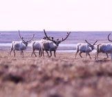 Part Of A Herd Of Reindeer, Photographed On Nunivak Island, Alaska. Photo By: Shimada, Noaa Photo Library
