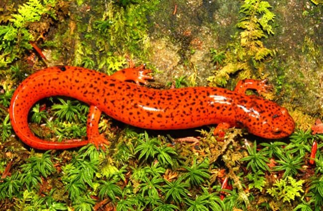 A Red Salamander in northern Alabama.Photo by: (c) Wirepec www.fotosearch.com