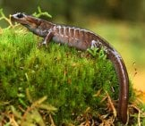 Northwestern Salamander In The Wild.