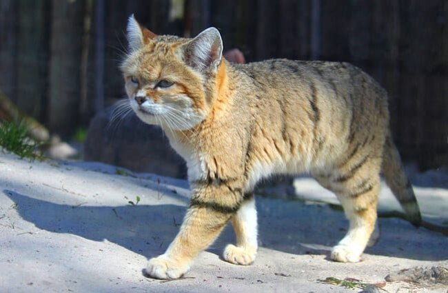 Sand Cat Description Habitat Image Diet And Interesting Facts