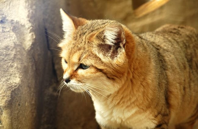 Closeup of a sand cat.