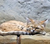 Sand Cat Napping In The Berlin Zoo.