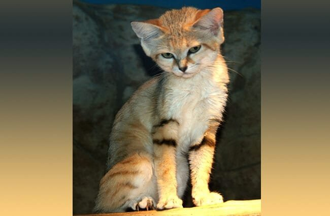 Sand cat portrait.