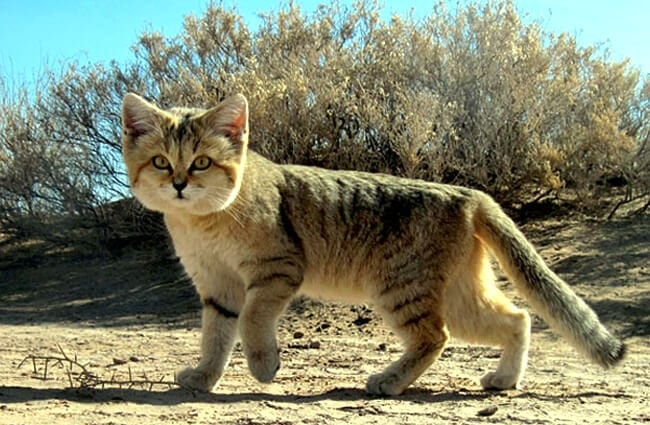 Persian sand cat on the hunt.